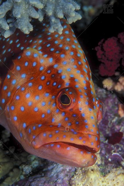 Inquisitive Coral Grouper