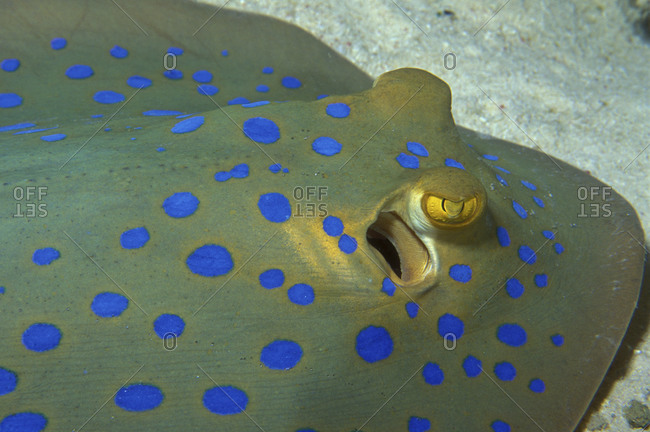 Close-Up Bluespotted Stingray