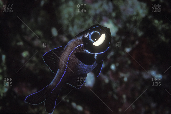 Close-Up Of Flashlight Fish