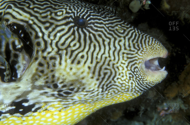Side View Of Star Puffer