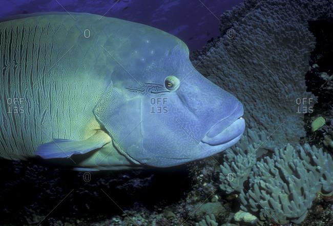Wary Napoleonfish