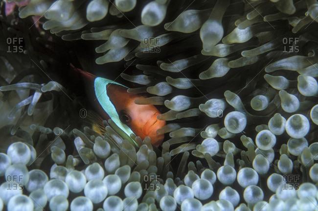 Clownfish Snuggled In Anemone