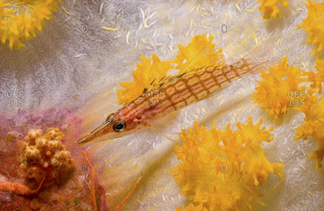 A Longnose Hawkfish, , Oxycirrhites Typus, Rests On A Stalk Of Soft Coral, Papua New Guinea