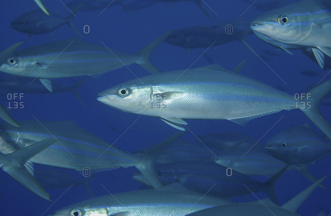 Close-up Of A School Of Rainbow Runner, Elagatis Bipinnulatus, In The Blue Waters Of Papua New Guinea