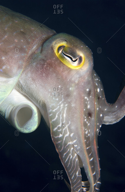 Close-up View Of The Head Of A Broadclub Cuttlefish, Sepia Latimanus, Including Tentacles And Siphon
