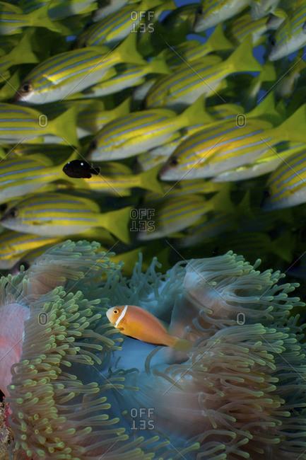 Maldives Anemonefish (Amphiprion Nigripes) In Anemone; Bluestripe Snapper(Lutjanus Kasmira) School In Background