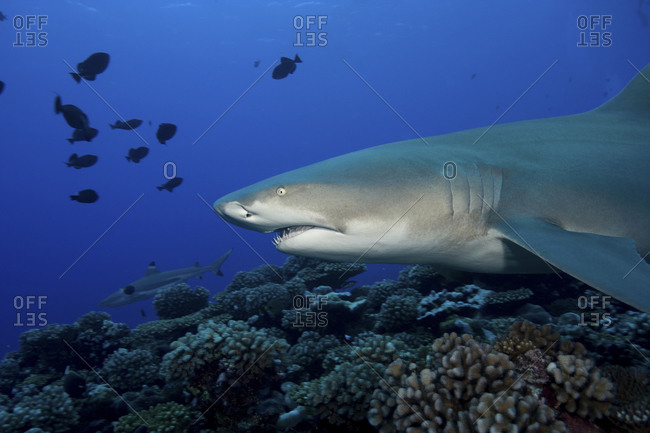 Lemon Shark, Negaprion Brevirostris, With Blacktip Reef Shark, Carcharhinus Melanpterus In Background, Moorea, French Polynesia