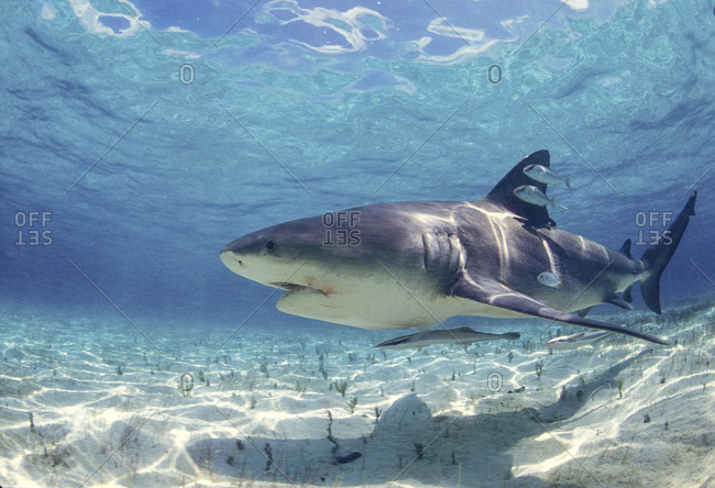 Bull Shark In Shallow Water