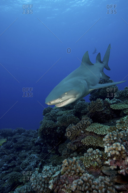 Ferocious Looking Lemon Shark, Negaprion Brevirostris, Swimming Over A Reeftop In French Polynesia