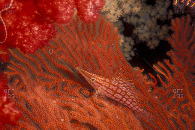 Longnose Hawkfish On Gorgonian