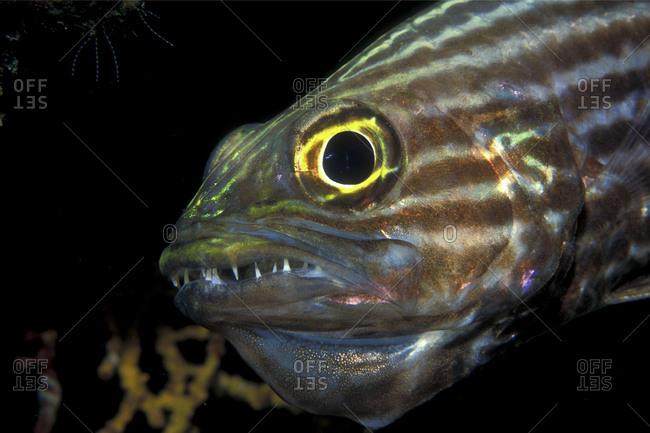 Male Cardinalfish Guards Eggs