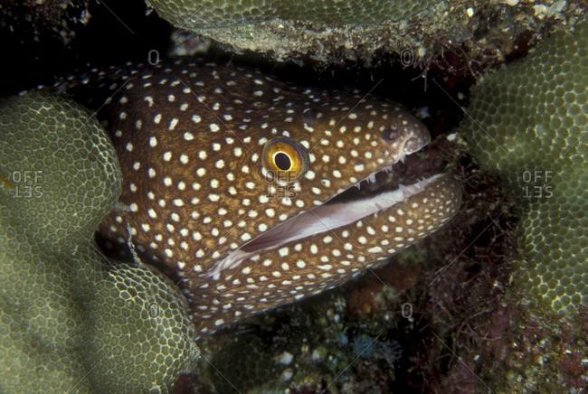 Moray Eel In Reef Crevice