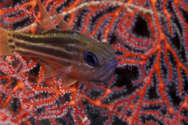 Male Cardinalfish Guards Eggs