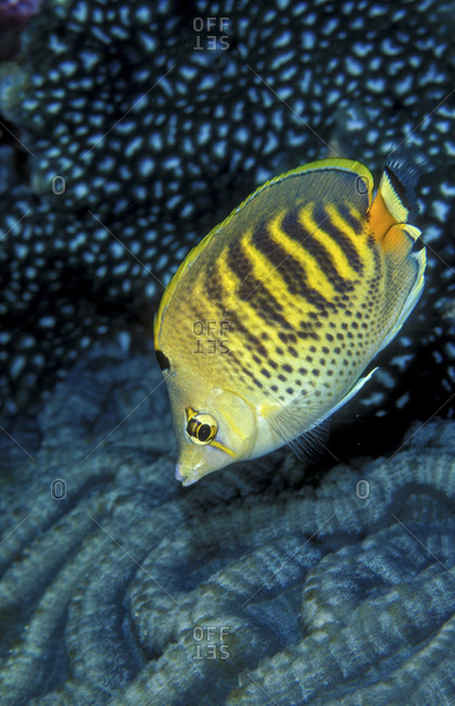 Spotband Butterflyfish from the Offset Collection