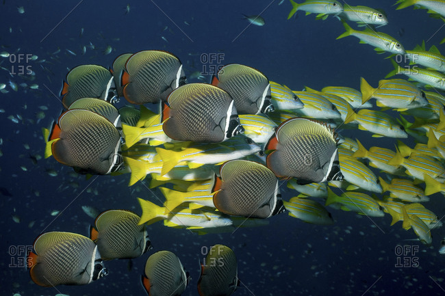 A Mixed School Of Collare Butterflyfish, Chaetodon Collare, And Blue Lined Snapper, Lutjanus Kasmira