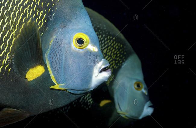 Pair Of French Angelfish