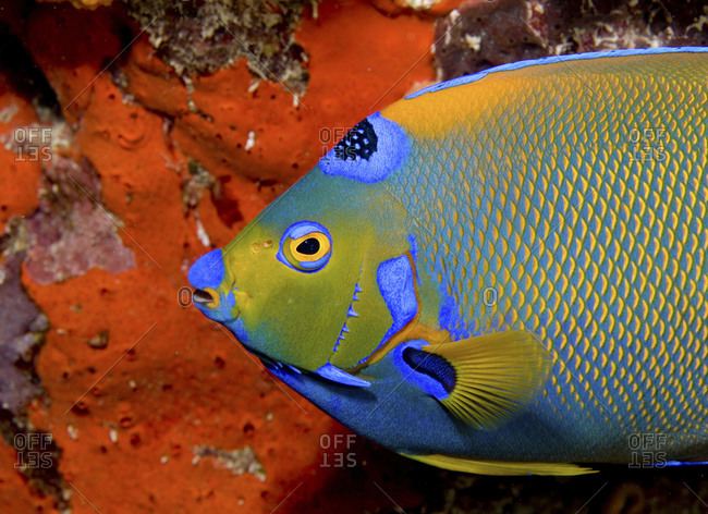 A Queen Angelfish (Holacanthus Ciliaris) Pauses In Front Of An Orange Elephant Ear Sponge (Agelas Clathrodes), Key Largo, Florida
