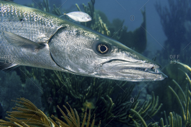 Close Up Of A Ferocious Looking Great Barracuda, Sphyraena Barracuda, Key Largo, Florida