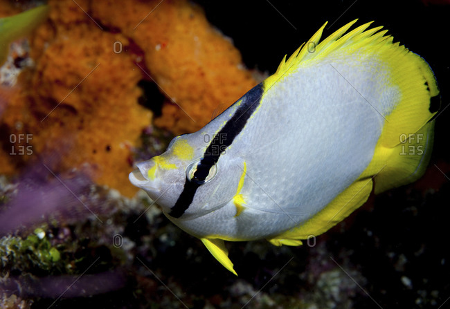 Spotfin Butterflyfish (Chaetodon Ocellatus) - Offset
