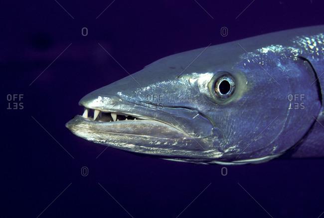 Close-Up Great Barracuda