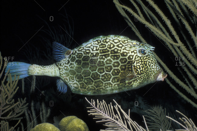 Honeycomb Cowfish At Night
