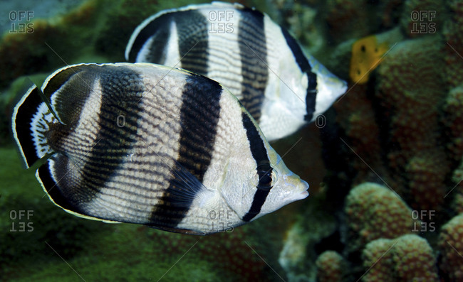 A Pair Of Banded Butterflyfish (Chaetodon Striatus)
