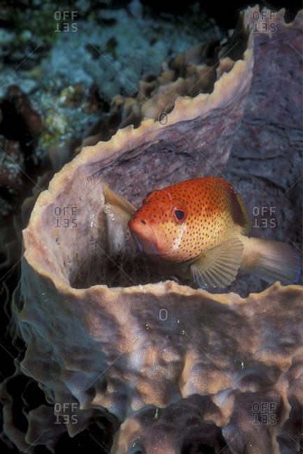 Coney In Barrel Sponge