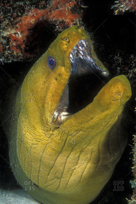 Green Moray Eel On Coral Reef