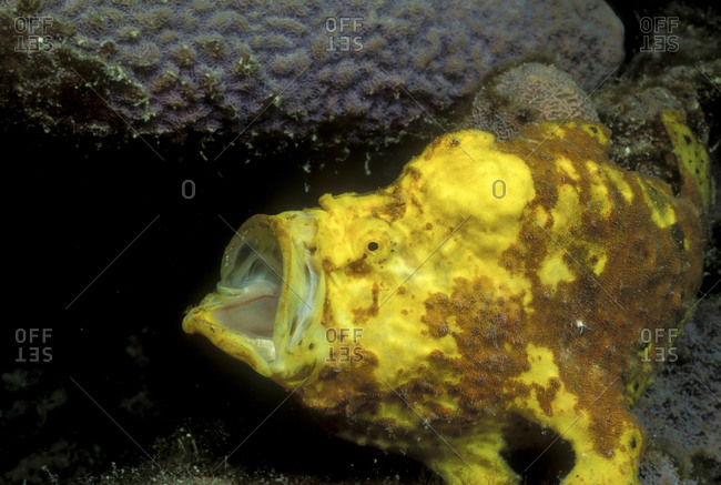 Longlure Frogfish And Sponge