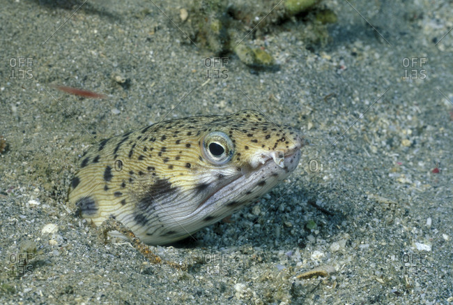 Head Of Spotted Snake Eel