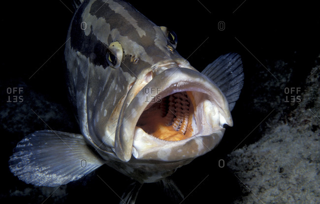 Mouth Of Nassau Grouper