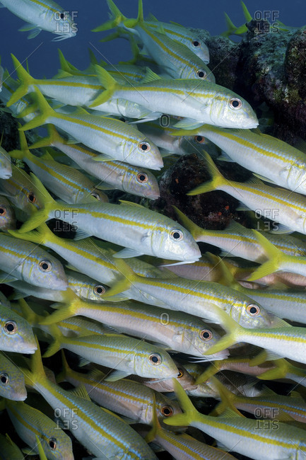 A Tightly Packed School Of Yellow Goatfish, Mulloides   Martinicus, Key Largo, Florida