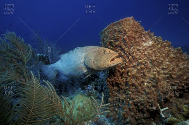 Tiger Grouper And Barrel Sponge