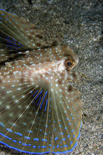A Flying Gurnard, Dactylopterus Volitans, Spreads Its Wings Against The Volcanic Sand Background Found In St Vincent