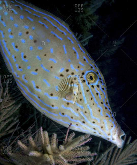 Scrawled Filefish, Aluterus Scriptus, Above A Sea Plume Frond  Nighttime On A Coral Reef