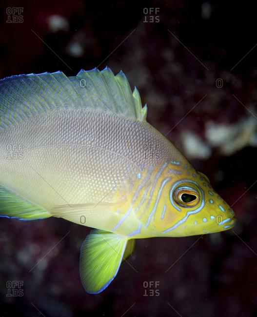 Butter Hamlet (Hypoplectrus Unicolor), A Member Of The Seabass Family Image Taken On Snapper Ledge In The Florida Keys National Marine Sanctuary
