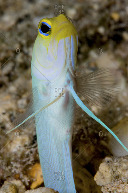 Yellowhead Jawfish (Opistognaths Aurifrons) Peers From The Sanctuary Of Its Burrow In The Sand