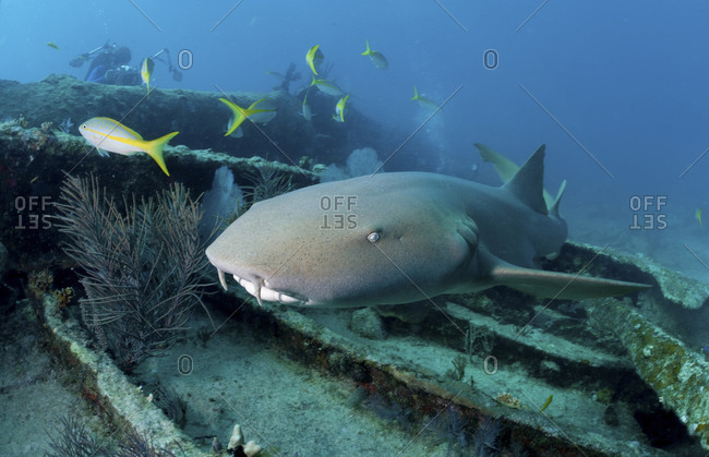 Nurse Shark (Ginglymostoma Cirratum) Swimming Over The City Of Washington Shipwreck, Florida Keys National Marine Sanctuary