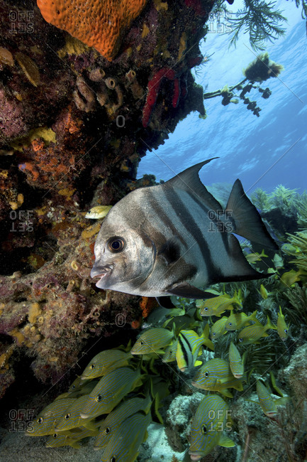 Atlantic Spadefish (Chaetodipterus Faber) With Other Schooling Fish In The Background, Florida Keys