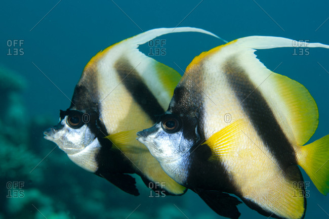Pair Of Red Sea Bannerfish