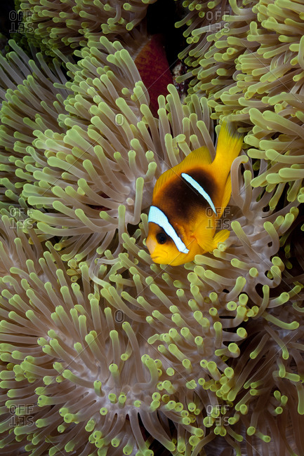 Two-Band Anemonefish In Anemone