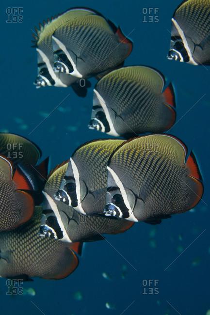School Of Redtail Butterflyfish - Offset