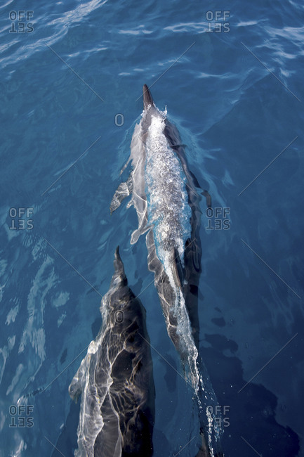 Spinner Dolphin (Stella Longirostris), Just Below The Surface Dolphin Enjoy Riding The Bow Wakes Of Boats,