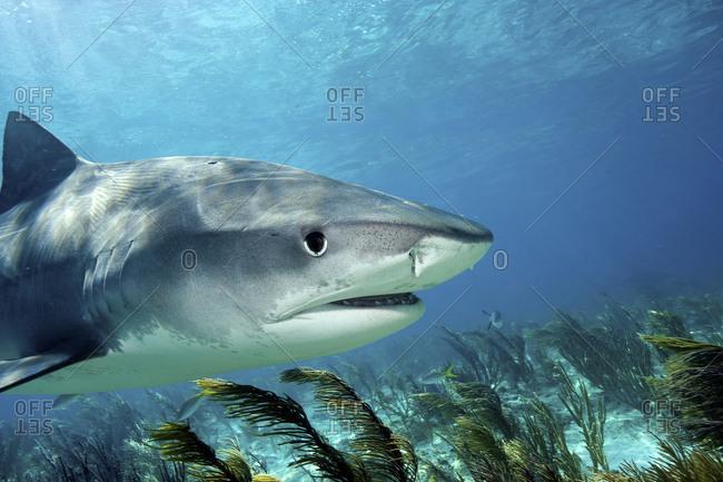 Tiger Shark, Tiger Beach - Offset