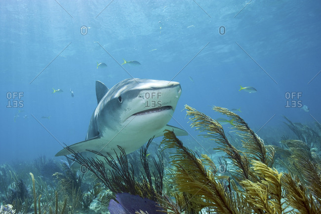 Tiger Shark, Galeocerdo Cuvier Photographed Off Of West End, Grand Bahama, Bahamas Islands