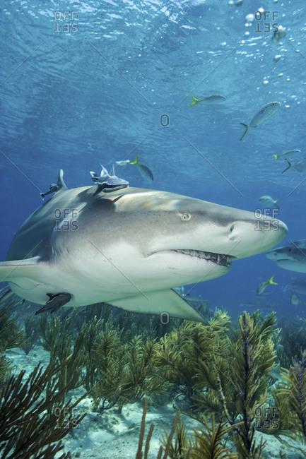 Lemon Shark, Negaprion Brevirostris - Offset