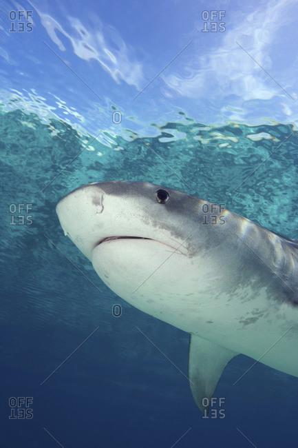 Tiger Shark, Galeocerdo Cuvier - Offset