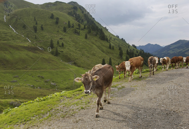 Dairy cows on alm in the Tyrol.