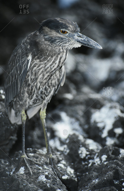 The watchful stare of a nocturnal Yellow Crowned Night Heron.