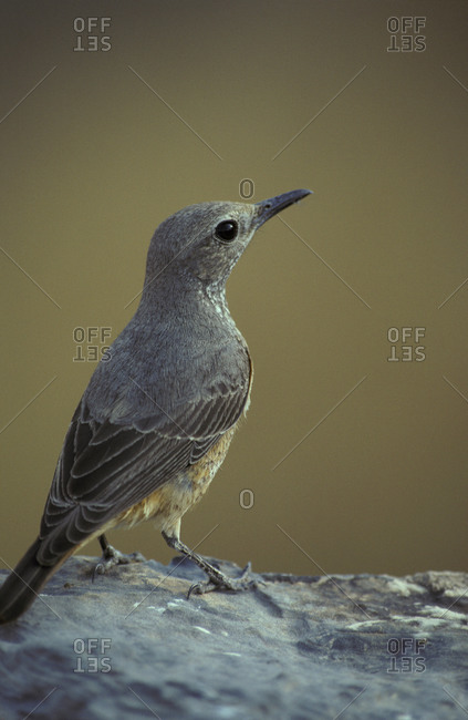 Portrait of a female Short-Toed Rock Thrush perched on a kopje outcrop